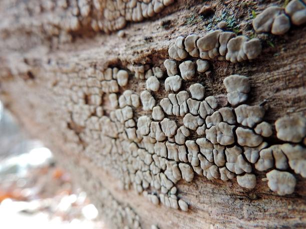 xylobulusfrustulatuslearnyourland